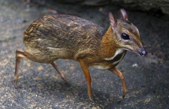 mouse_deer_14