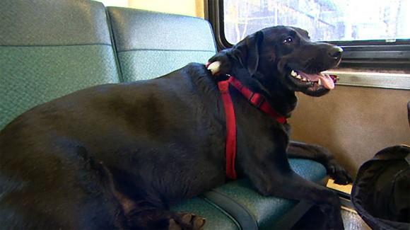 「ちょっと公園行ってくるわ」。犬が1匹だけでバスに乗り道路を歩いて公園通い。地元の名物犬へ(米シアトル)