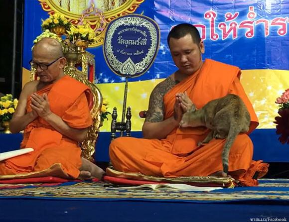 試される僧侶。猫の思いっきり甘えるの攻撃に耐えられるか?(タイ)
