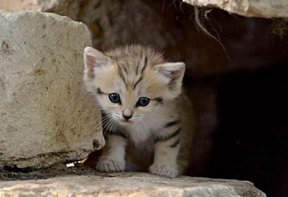 sand_cat_kitten_06