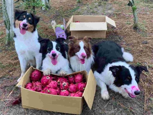 「ちゃんと守ってましたよ?」ドラゴンフルーツの見張り役を任された犬たちの口元が一様に赤くなっている件(台湾)
