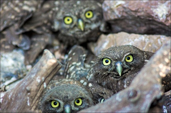 baby-owls-04