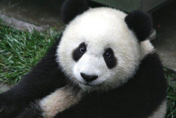 なんでパンダは白黒なの?その理由は笹にあった(米研究)