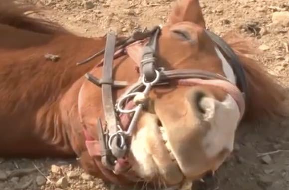 世界で最もメロドラマな馬。人間が乗ろうとするとドラマチックに死んだふり