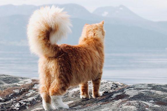 巨大でモフモフ。リスのような尻尾を持ち、犬のような性格を持った猫(ノルウェー)