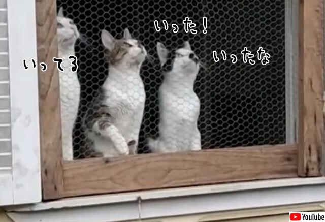 窓際からボール投げをエア観戦中の猫