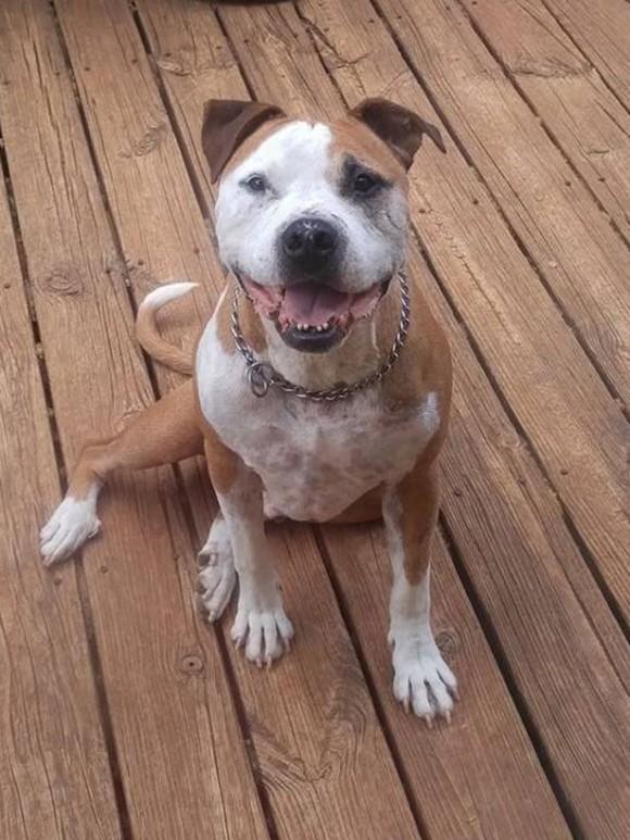 助けなきゃ!暴漢に襲われていた女性の為、5度も刺されながら必死に守り続けたピットブル犬(アメリカ)