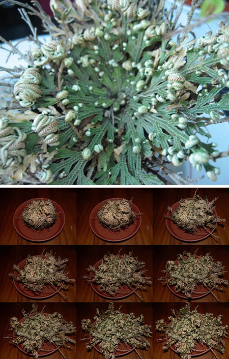 a96804_a503_ressurrection-plant