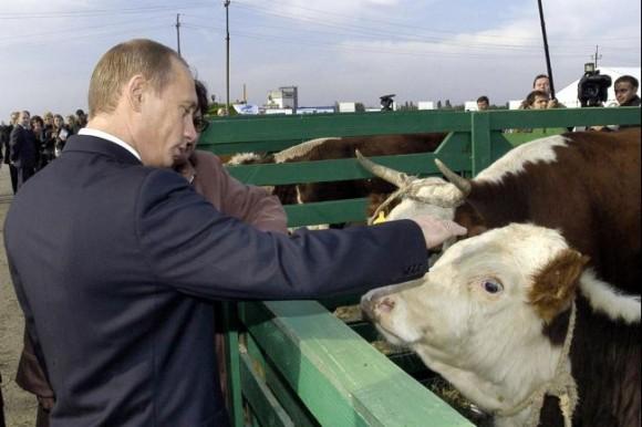 牛とプーチン大統領