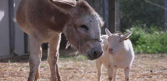 「会えないよ、悲しいよう。」 何も食べられなくなってしまったヤギにロバと再会させたところ元気を取り戻した!(アメリカ)