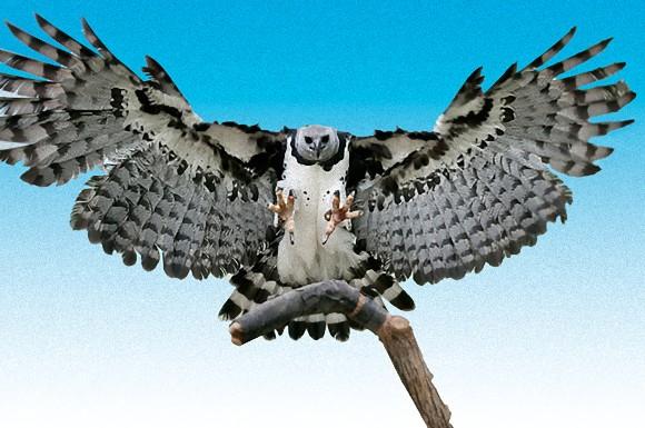 先輩超かっこいいっす!猛禽類最大の鉤爪と握力を誇る、生粋の ...