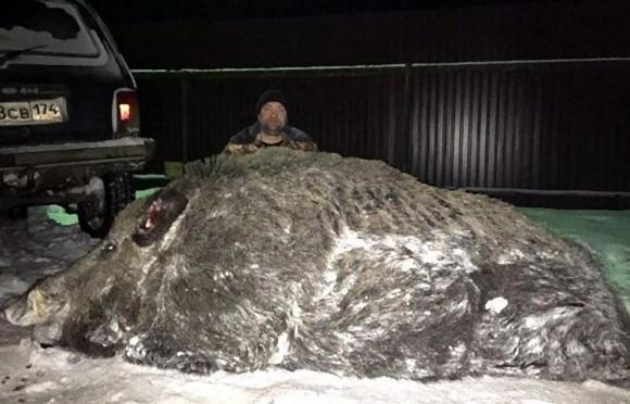 クマよりでかいかも!ロシアで体重535キロの巨大イノシシが捕獲される ...