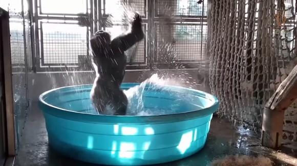 プールを楽しむゴリラの姿があまりにもリズミカルで映画のワンシーンのよう