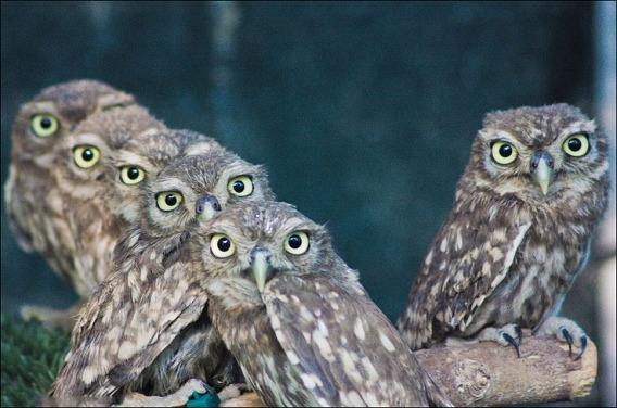 baby-owls-02