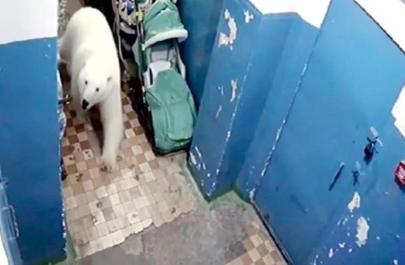 ロシアのある町で50頭を超えるホッキョクグマが出没!非常事態宣言が発令される。