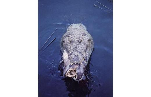 Croc-hippo_1402387i