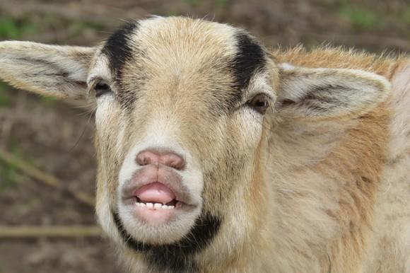 goat-3315330_640_e