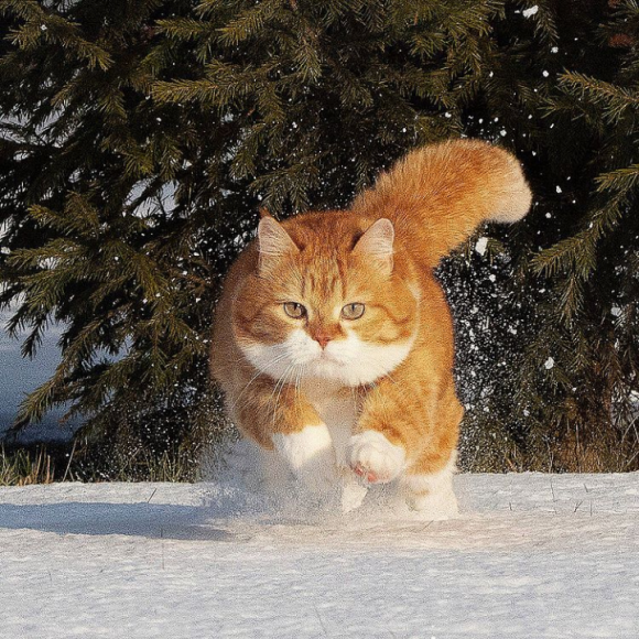 寒さ知らず、ロシアの猫の日常