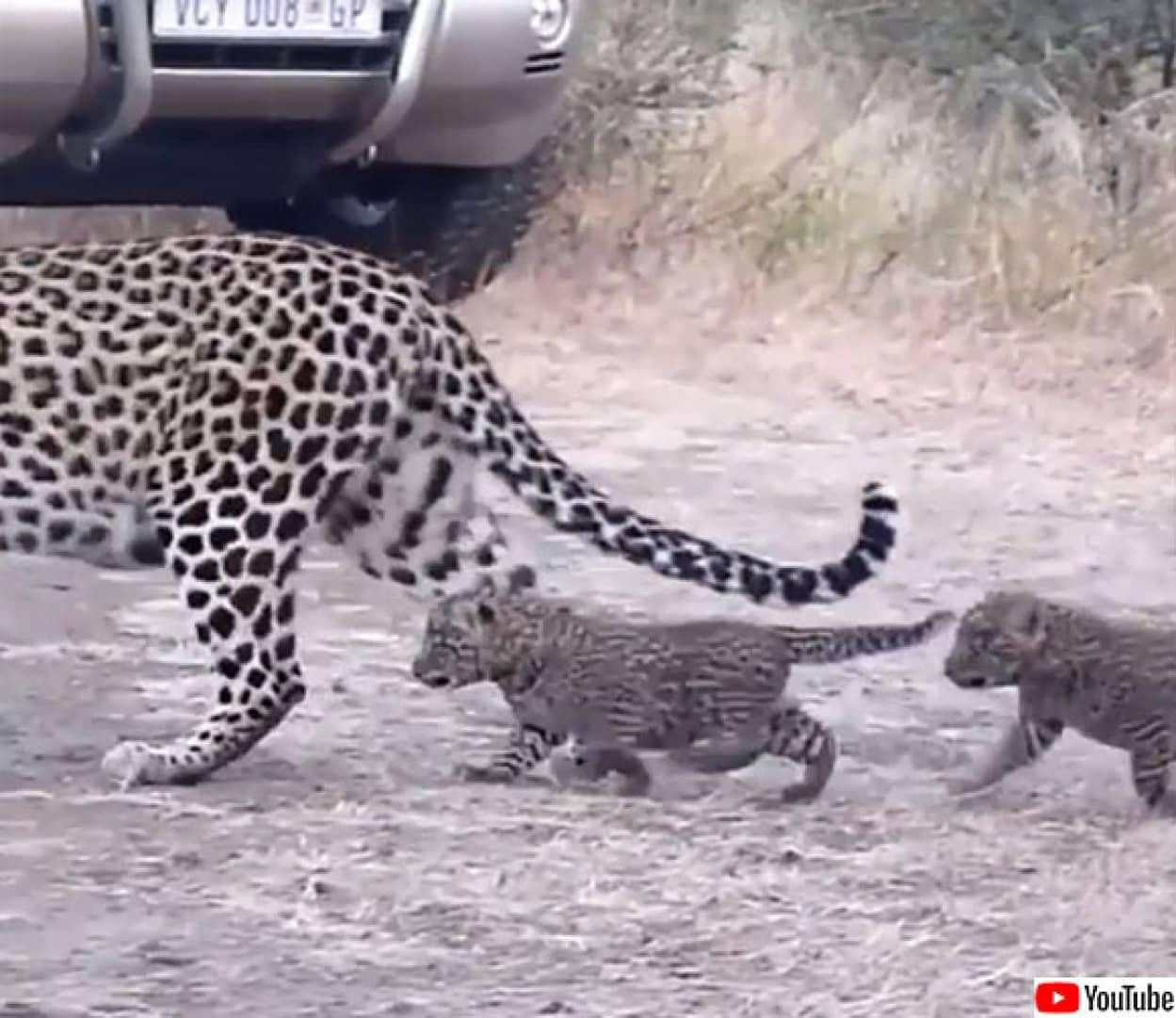 ヒョウの親子の道路渡りレクチャー