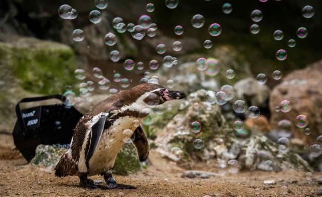 シャボン玉楽しい!ペンギンたちがヨチヨチシャボン玉遊び