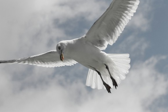 herring-gull-4342225_640_e