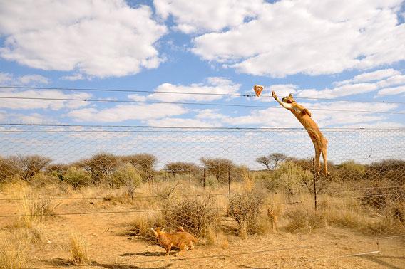 驚異の跳躍力 耳が男前なカラカルキャットの大ジャンプ カラパイア