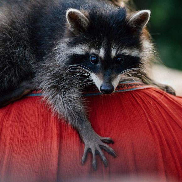 raccoon-4 [www.imagesplitter.net]