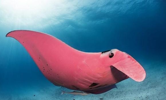 驚くほどピンク!世界で唯一の個体かもしれない、ピンク色のマンタの生息が確認される(オーストラリア)