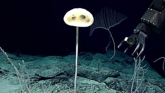 E.T.が深海にいた?不思議な形の新種の深海生物が発見される(米海洋大気庁)