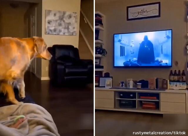 フォースの暗黒面の恐ろしさを知ってしまった犬。ダース・ベイダーが画面に映るとソファの後ろに隠れる