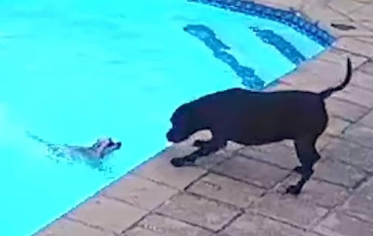 小型犬がプールに転落、必死で助け出そうとしたもう1匹の