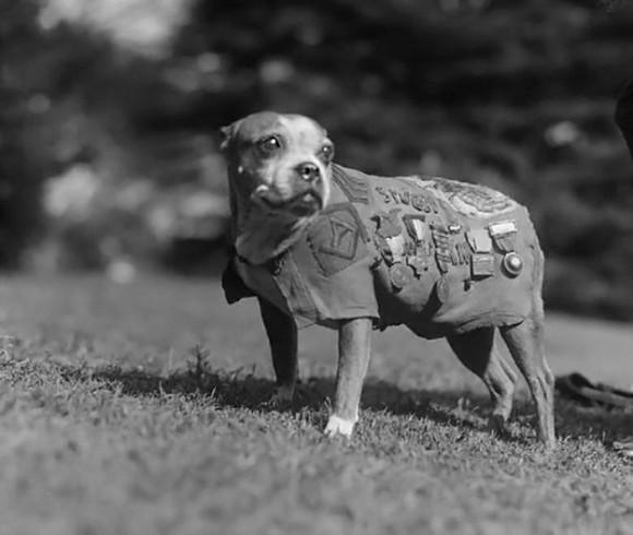 第一次世界大戦中、多くの兵士の命を救い、軍曹にまで上り詰めた犬、「スタビー軍曹」