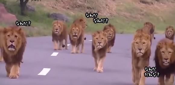 映画のワンシーンのようだ!ライオンの群れが一斉にこっちに向かって歩いてくるぞ