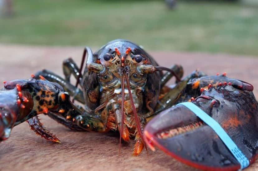 lobster-1615906_640