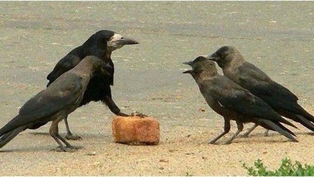 crow-1_e