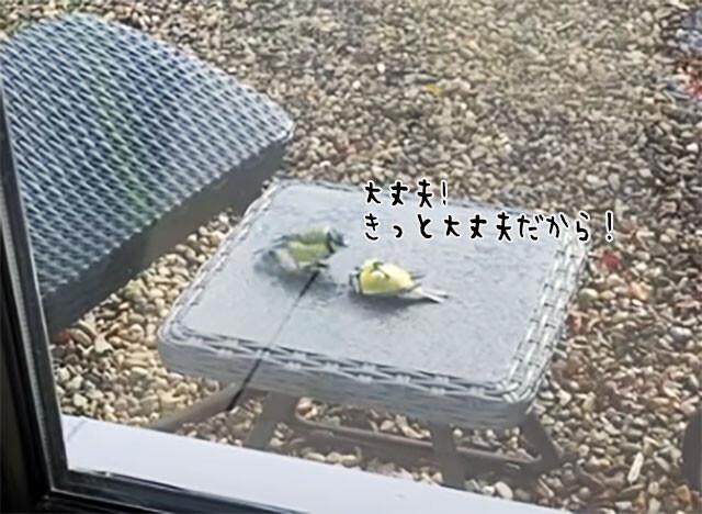 窓ガラスにぶつかって動かなくなった小鳥を必死に助けようとする仲間の小鳥