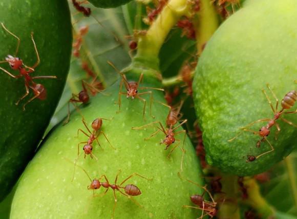 fire-ants-2783019_1280_e