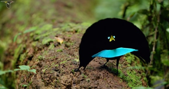 似てるけど違ってた!漆黒の踊る鳥「カタカケフウチョウ」が1