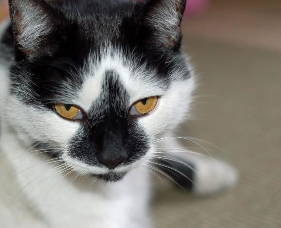 白黒猫のチョビヒゲや個性的な模様、その発生メカニズムが明らかに(英研究)