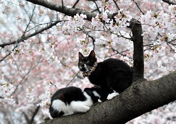 cherry_blossom_tree_cats_03