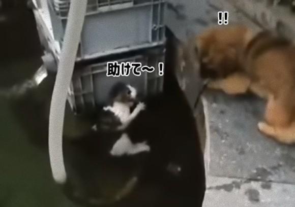猫ちゃんがおぼれてる!水に飛び込み猫を助け出したのは犬だった