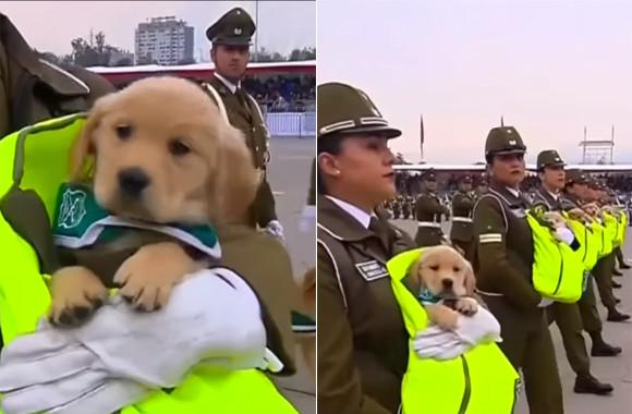 南米チリでは、ゴールデンレトリバーのワンワン部隊が軍事パレードに参加。かわいすぎて人気爆発。