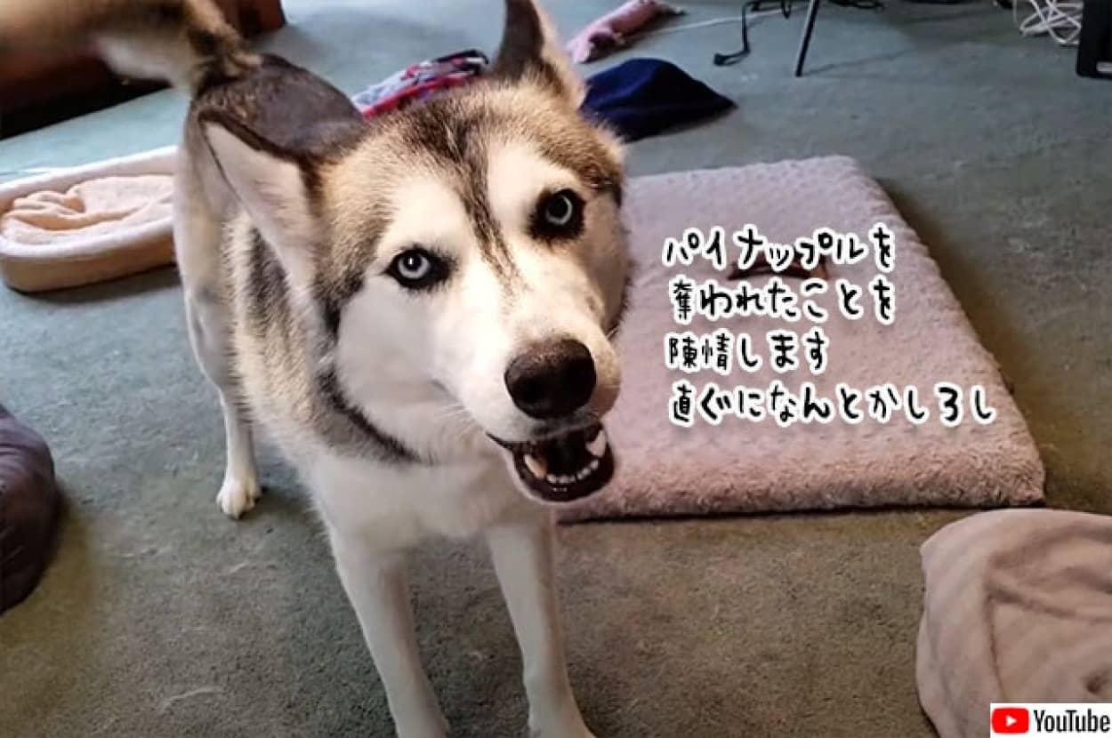 ハスキー犬の陳情スタイル