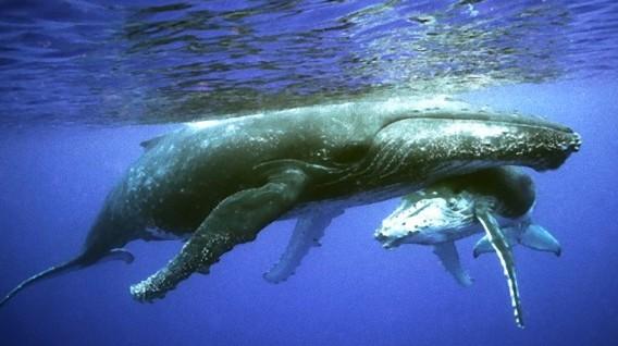 イルカやクジラの大量座礁や大量死。米海軍がその関与を認める。訓練や実験による海中の爆音によるもの。