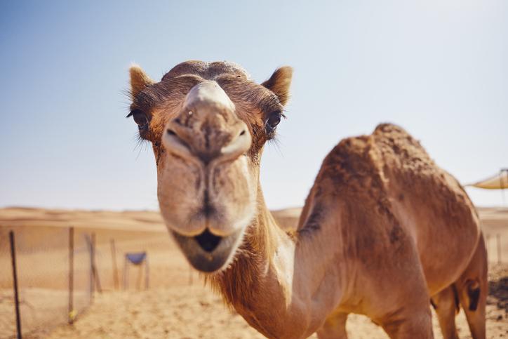 ラクダの毛皮から着想を得た冷却素材