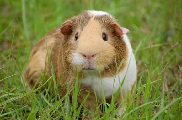 モルモットは寂しがり屋。スイスの「モルモット単独飼育禁止令」に倣って専門家が正しい飼育法をアドバイス
