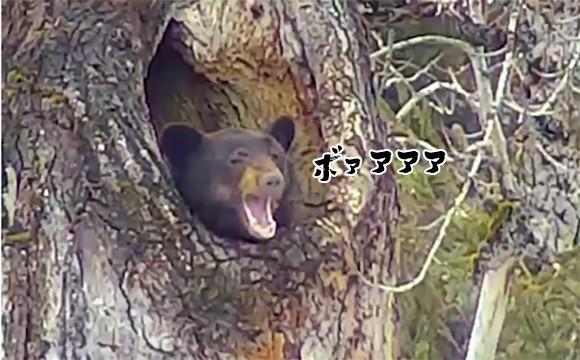 おまえがいたんかーい!高い位置にある木の穴で冬眠から目覚めたクマに対する人々の反応