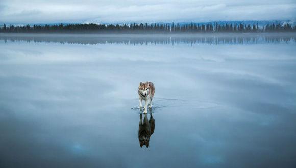 水面を歩くハスキー犬!?そんな特殊能力を身に着けたかのように威風堂々と氷上を歩くハスキー犬の写真