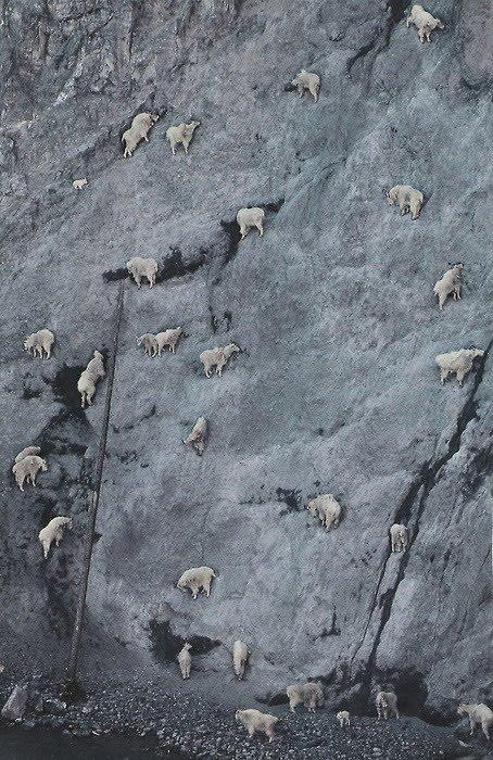 crazy_goats_26