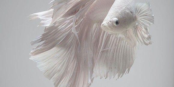 魅惑の淡水魚。ベタや金魚たちの流れるような美しさを引き出した写真